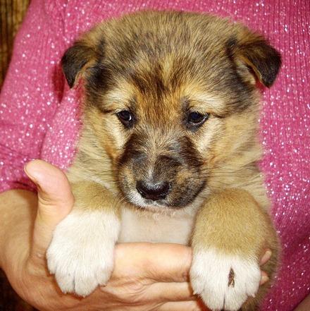 Филимон щенок из приюта на пристройство, частный приют Зов Предков zovpredkov.net