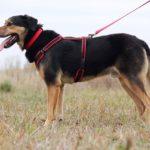 Бостон собака из приюта на пристройство приют для бездомных животных Зов Предков zovpredkov.net фото 3