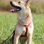Каспер собака из приюта на пристройство, частный приют Зов Предков zovpredkov.net фото 6