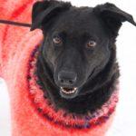 Хейли собака из приюта на пристройство, частный приют Зов Предков zovpredkov.net фото 8