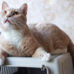 Абрикос кот из приюта для бездомных животных Зов Предков на пристройство zovpredkov.net фото 4