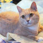 Абрикос кот из приюта для бездомных животных Зов Предков на пристройство zovpredkov.net фото 2