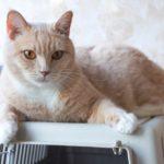 Абрикос кот из приюта для бездомных животных Зов Предков на пристройство zovpredkov.net фото 3