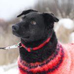 Хейли собака из приюта на пристройство, частный приют Зов Предков zovpredkov.net фото 4