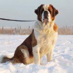 Скарлет собака из приюта на пристройство, частный приют Зов Предков zovpredkov.net фото 6