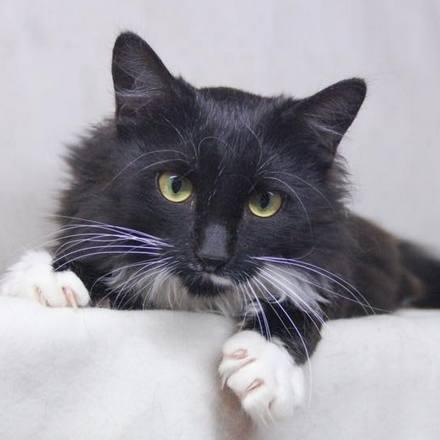 Нарния кошка из приюта для бездомных животных Зов Предков на пристройство  zovpredkov.net