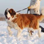 Скарлет собака из приюта на пристройство, частный приют Зов Предков zovpredkov.net фото 4