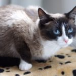 Шармэль кошка из приюта для бездомных животных Зов Предков на пристройство zovpredkov.net фото 3