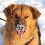 Рим собака из приюта на пристройство, частный приют Зов Предков zovpredkov.net фото 8