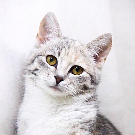 Лакшери кошка из приюта на пристройство, частный приют Зов Предков zovpredkov.net