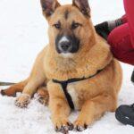 Чеддер собака из приюта на пристройство, частный приют Зов Предков zovpredkov.net фото 5