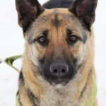 Сабрина собака из приюта на пристройство, частный приют Зов Предков zovpredkov.net фото 7