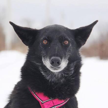 Лайма собака из приюта на пристройство, частный приют Зов Предков zovpredkov.net