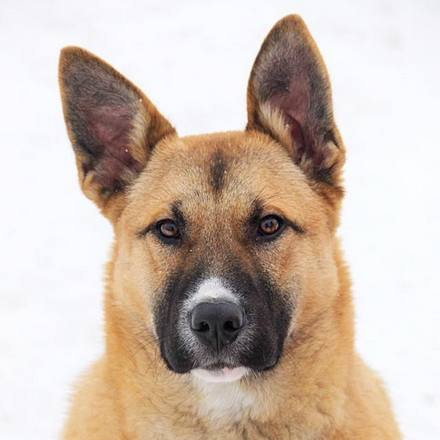 Чеддер собака из приюта на пристройство, частный приют Зов Предков zovpredkov.net