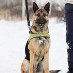 Сабрина собака из приюта на пристройство, частный приют Зов Предков zovpredkov.net фото 4