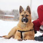 Чеддер собака из приюта на пристройство, частный приют Зов Предков zovpredkov.net фото 4
