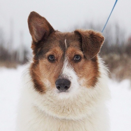 Снуппи собака из приюта на пристройство, частный приют Зов Предков zovpredkov.net