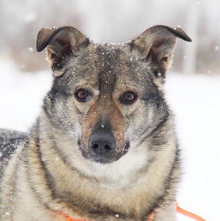 Афина собака из приюта на пристройство, частный приют для бездомных животных Зов Предков zovpredkov.net