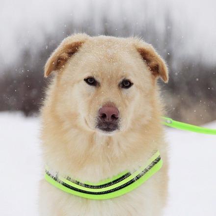 Голди собака из приюта на пристройство, частный приют для бездомных животных Зов Предков zovpredkov.net
