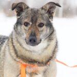 Афина собака из приюта на пристройство, частный приют для бездомных животных Зов Предков zovpredkov.net фото 3