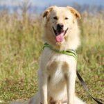 Голди собака из приюта на пристройство, частный приют для бездомных животных Зов Предков zovpredkov.net фото 8
