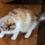 Богема кошка из приюта для бездомных животных Зов Предков на пристройство zovpredkov.net фото 2