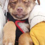 Иви щенок из приюта на пристройство, частный приют для бездомных животных Зов Предков zovpredkov.net фото 2
