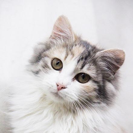 Богема кошка из приюта для бездомных животных Зов Предков на пристройство  zovpredkov.net