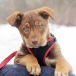 Иви щенок из приюта на пристройство, частный приют для бездомных животных Зов Предков zovpredkov.net фото 6