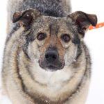 Афина собака из приюта на пристройство, частный приют для бездомных животных Зов Предков zovpredkov.net фото 4