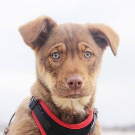 Иви щенок из приюта на пристройство, частный приют для бездомных животных Зов Предков zovpredkov.net