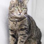 Мортишия кошка из приюта на пристройство, частный приют Зов Предков zovpredkov.net фото 4
