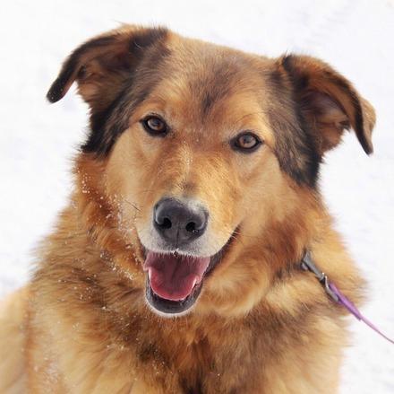Шегги собака из приюта на пристройство, частный приют для бездомных животных Зов Предков zovpredkov.net