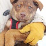 Иви щенок из приюта на пристройство, частный приют для бездомных животных Зов Предков zovpredkov.net фото 1