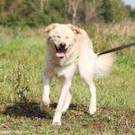Голди собака из приюта на пристройство, частный приют для бездомных животных Зов Предков zovpredkov.net фото 6