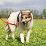 Амели собака из приюта на пристройство, частный приют для бездомных животных Зов Предков zovpredkov.net фото 13