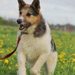 Амели собака из приюта на пристройство, частный приют для бездомных животных Зов Предков zovpredkov.net фото 12