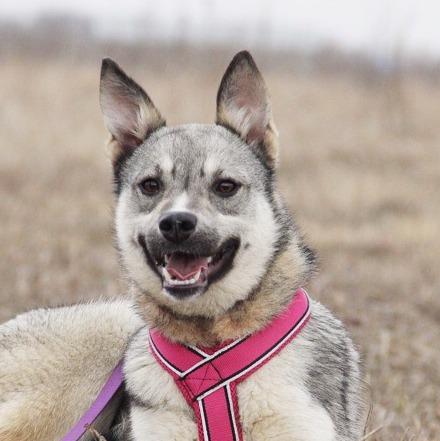 Грейси собака из приюта на пристройство, частный приют для бездомных животных Зов Предков zovpredkov.net