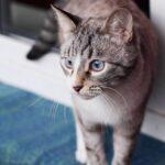 Сапфир кот из приюта на пристройство приют для бездомных животных Зов Предков zovpredkov.net фото 3