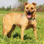 Фанта собака из приюта на пристройство, частный приют для бездомных животных Зов Предков zovpredkov.net фото 4