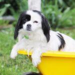Сакура собака из приюта на пристройство, частный приют для бездомных животных Зов Предков zovpredkov.net фото 1