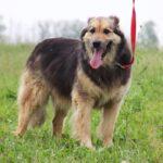 Фома собака из приюта на пристройство, частный приют для бездомных животных Зов Предков zovpredkov.net фото 3