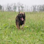 Эшли собака из приюта на пристройство, частный приют для бездомных животных Зов Предков zovpredkov.net фото 2