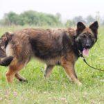 Эшли собака из приюта на пристройство, частный приют для бездомных животных Зов Предков zovpredkov.net фото 3