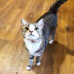 Шервуд кот из приюта на пристройство приют для бездомных животных Зов Предков zovpredkov.net фото 4