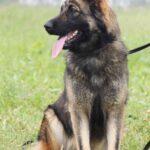 Эшли собака из приюта на пристройство, частный приют для бездомных животных Зов Предков zovpredkov.net фото 7