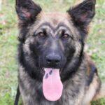 Эшли собака из приюта на пристройство, частный приют для бездомных животных Зов Предков zovpredkov.net фото 8