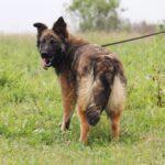 Эшли собака из приюта на пристройство, частный приют для бездомных животных Зов Предков zovpredkov.net фото 4