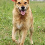 Дюшес собака из приюта на пристройство, частный приют для бездомных животных Зов Предков zovpredkov.net фото 4