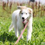 Бьянка собака из приюта на пристройство частный приют для собак Зов Предков фото 2